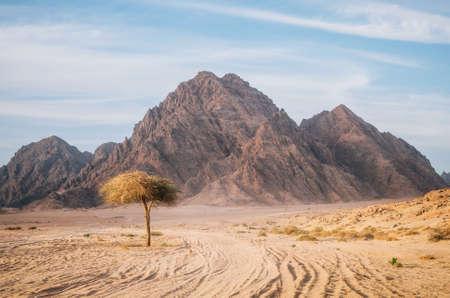 Boom in Sinaï-woestijn met rotsachtige heuvels en bergen tegen zonsonderganghemel, Egypte. Leven in woestijnconcept