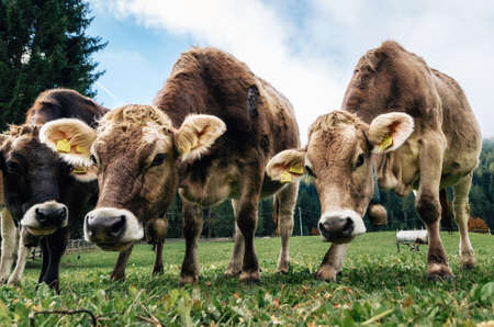 Brown cows grazing in an alpine meadow close up looking the camera in Italy Stock Photo