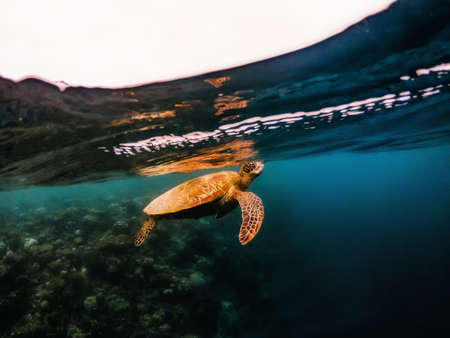 Big sea turtle floating underwater close to surface of water over coral reef, Moalboal, Cebu islands, Philippines Archivio Fotografico