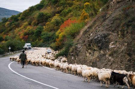 Shepherd is herding herd of sheep along Georgian military road, Zhinvali village, Mtskheta-Mtianeti, Georgia