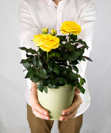 Mans hands hold a flower pot with yellow roses on a purple mans hands hold a flower pot with yellow roses on a purple background valentines day mightylinksfo