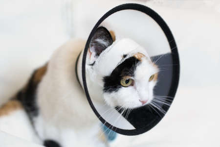 adult cat wearing a plastic cone collar to protect it from scratching the wound on a white background 免版税图像