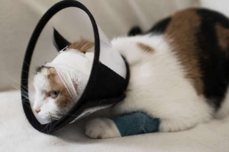 adult cat wearing a plastic cone collar to protect it from scratching the wound on a white background Stock fotó
