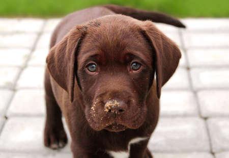 Brown labrador puppy looking at camera
