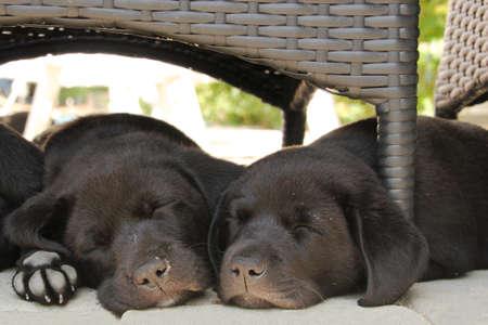 two black puppies sleeping