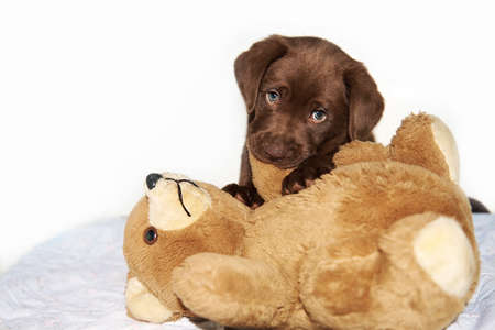 Brown labrador Puppy chewing brown teddy bear Stock Photo