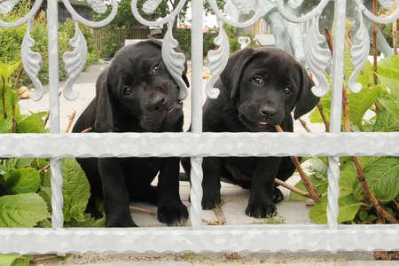 Two black labrador puppies behind grey fence