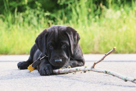 wood stick: Black labrador puppy playing with wood stick