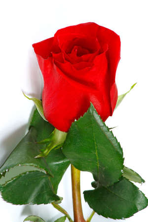 The fresh beautiful red rose from garden photo