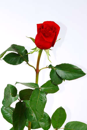 The fresh beautiful red rose with drops