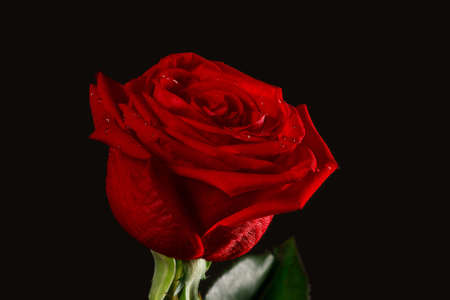 The dark red rose with drops from black background photo