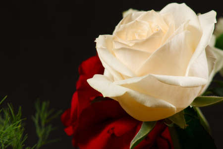 The red and creamy roses from dark background