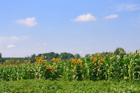 summer landscape with sunflowers and sky photo