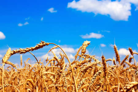 Golden ripe ears of wheat in the sky photo