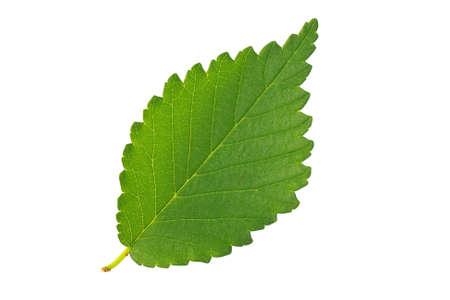 Elm foglia verde isolato su sfondo bianco Archivio Fotografico