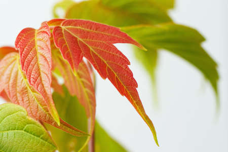 Red and green maple leaves closeup photo
