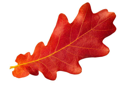 Red autumn leaf oak isolated on white background