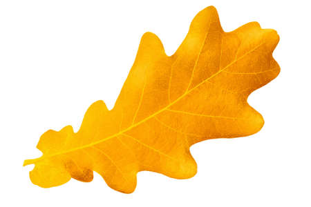 Yellow autumn leaf oak isolated on white background photo