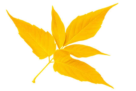 Yellow autumn leaf maple isolated on white background photo