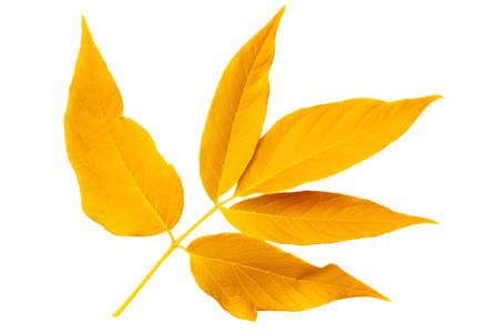 Yellow autumn leaf ash isolated on white background photo