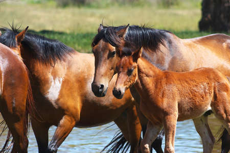 Horses with a young foal near the river photo