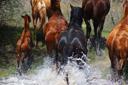 Horses running out with splashes of the river to the shore photo