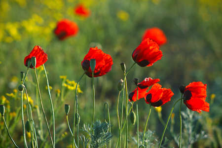 Group of bright red blooming wild poppies  photo