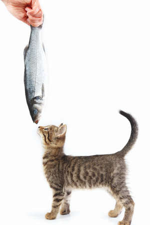 Kitten looking at sea bass fish which gives it a female hand on a white background