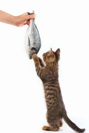 Pretty kitten looking at dorado fish which gives it a womans hand on a white background