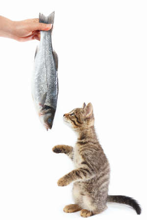 Tabby kitten looking at labrax fish which gives it a female hand on a white background Imagens