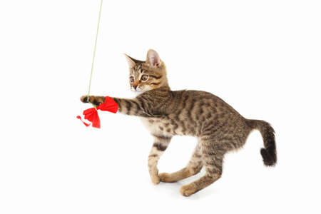 Striped kitten is played with a red paper bow on a white background Stock Photo