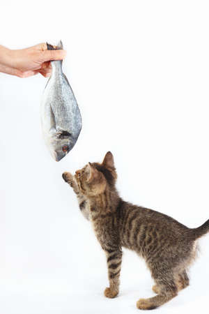 Kitten looking at dorado fish which gives it a womans hand on a white background