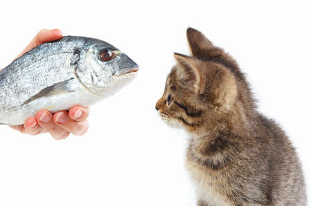 Female hand offers a cute kitten a dorado fish on a white background
