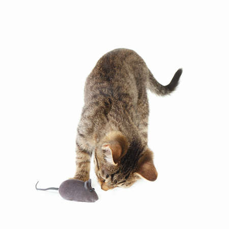 Little kitten is played with a gray toy mouse on a white background Stock Photo