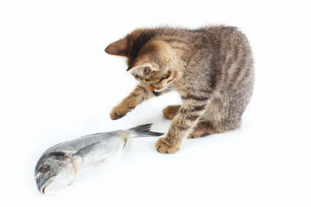 Tabby kitten looks at a dorado fish on a white background Stock Photo