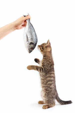Striped kitten looking at dorado fish which gives it a womans hand on a white background Imagens