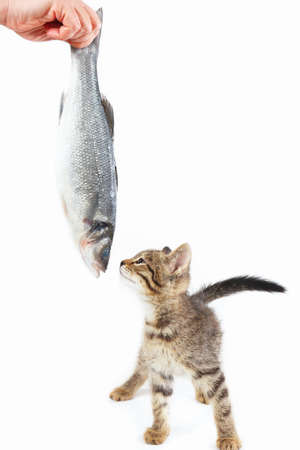 Cute kitten looking at sea bass fish which gives it a female hand on a white background Imagens