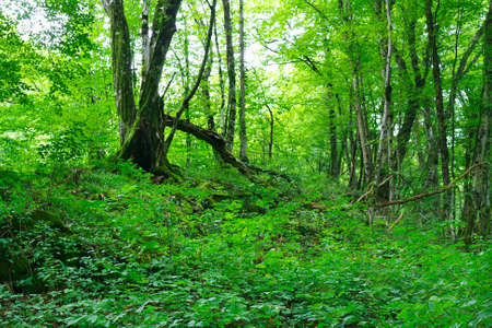 Old relic beech and hornbeam forest in the foothills of the western Caucasus