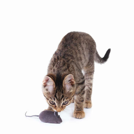 Pretty kitten is played with a gray toy mouse on a white background