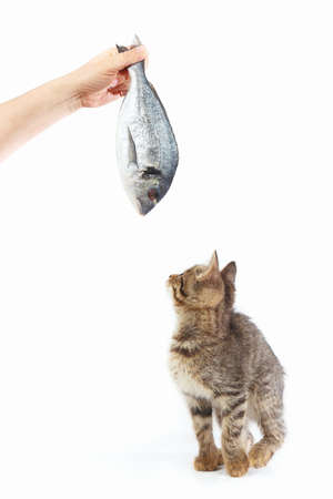 Tabby kitten looking at dorado fish which gives it a womans hand on a white background Imagens