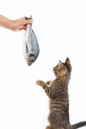 Little kitten looking at dorado fish which gives it a womans hand on a white background