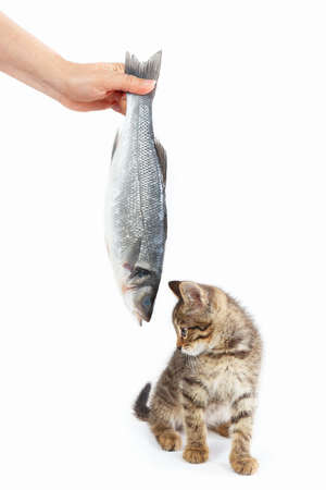 Striped kitten looking at labrax fish which gives it a female hand on a white background