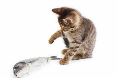 Striped kitten looks at a dorado fish on a white background 写真素材