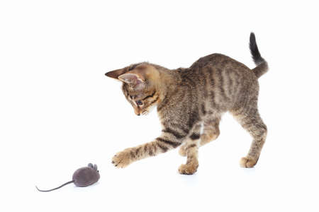 gatito lindo está jugando con un ratón de juguete gris sobre un fondo blanco Foto de archivo
