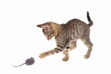 Nettes Kätzchen wird mit einer grauen Spielzeugmaus auf einem weißen Hintergrund gespielt Standard-Bild