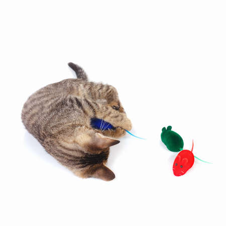 Tabby kitten is played with a red, blue and green toy mouse on a white background