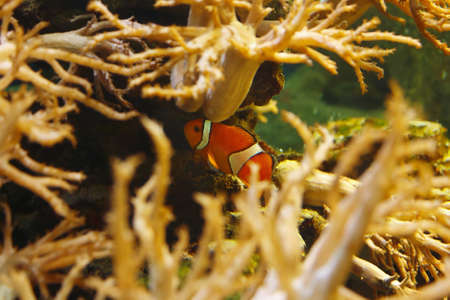 Ocellaris clownfish (Amphiprion ocellaris), also known as the Clown anemone in their habitat