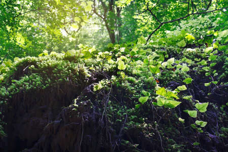 Amazing green moss and ivy in the morning sunlight on the surface of a rock 版權商用圖片