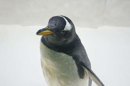 Gentoo penguin (Pygoscelis papua) at zoo on a snowy background Stock Photo