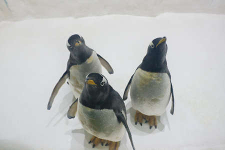 Three Gentoo penguins (Pygoscelis papua) at zoo on a snowy background Stock Photo